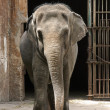 Stock Photo: Zoo Elephant