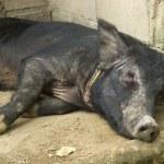 Lone Pig — Stock Photo #3837398
