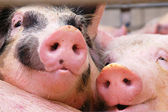 Swine — Stock Photo