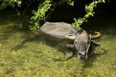 Water Buffalo — Stock Photo