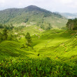 Tea plantation farm — Stock Photo
