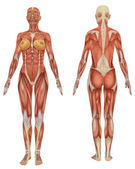 Female Muscular Anatomy Front and Rear View — Stock Photo