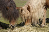 Two Shetland ponies — Stock Photo