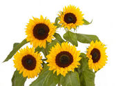 Bunch of sunflowers — Stock Photo