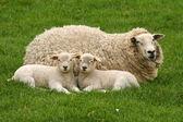 Mamma får med två lamm i gräset ser på dig — Stockfoto