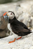 Puffin with fish in its beak looking at you — Stock Photo