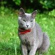 Royalty-Free Stock Photo: Russian blue cat