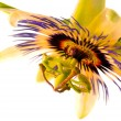 Passion Flower — Stock Photo #3846183