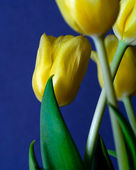 Macro Tulip — Stock Photo