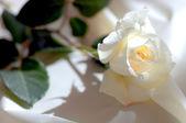 White rose on Satin — Stock Photo