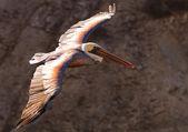 Pelican 19 — Stock Photo