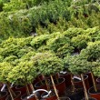 Stock Photo: Garden plants nursery
