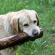 Labrador retriever — Foto Stock