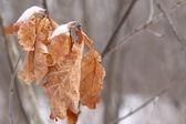Dead oak leaves — Stock Photo