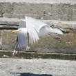 Stock Photo: Seagull landing
