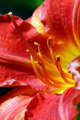 Daylily Macro — Stock Photo