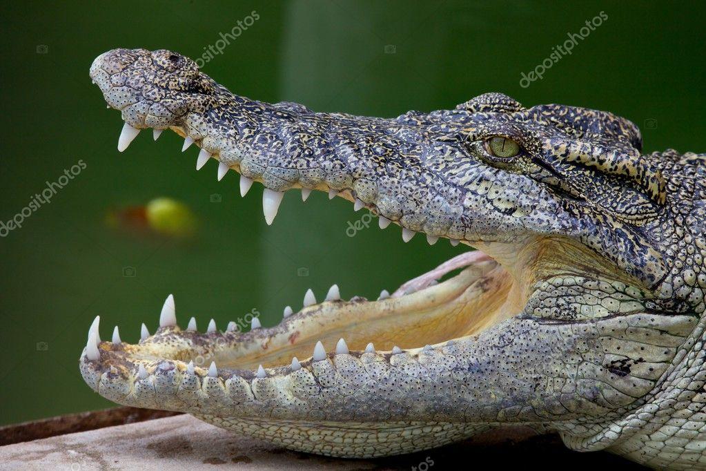 Crocodile Open ...