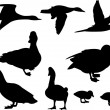 Stock Vector: Ducks