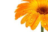 Gerber daisy macro with droplets — Stock Photo