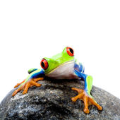 Frog on rock — Stock Photo