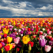 Field of tulips - 图库照片