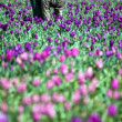 Man working in tulip field — Stock Photo