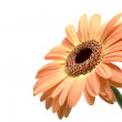 Stock Photo: Gerber daisy isolated