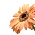 Gerber daisy isolated — Stock Photo