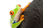 Frog on a rock — Stock Photo