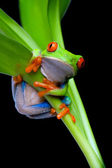 Frog in a plant isolated black — Stock Photo