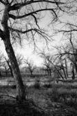 Dead tree landscape b&w — Stock Photo