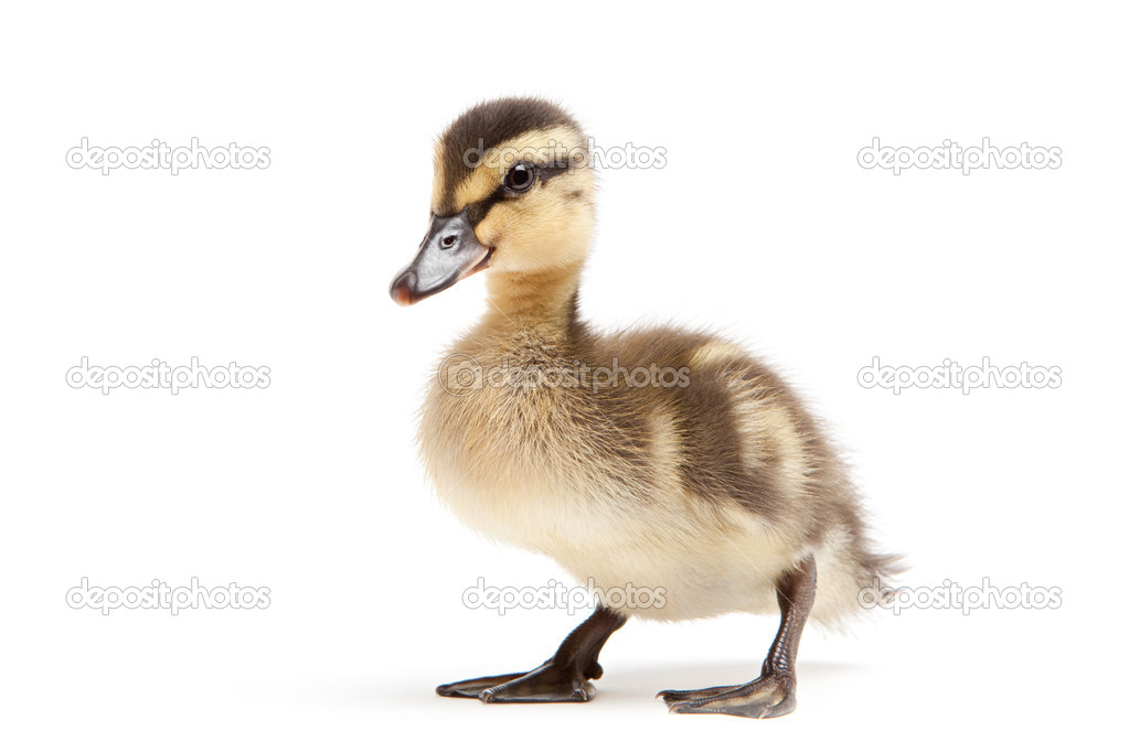 Duckling isolated on white background - baby mallard (Anas platyrhynchos) closeup — Stock Photo #3892856