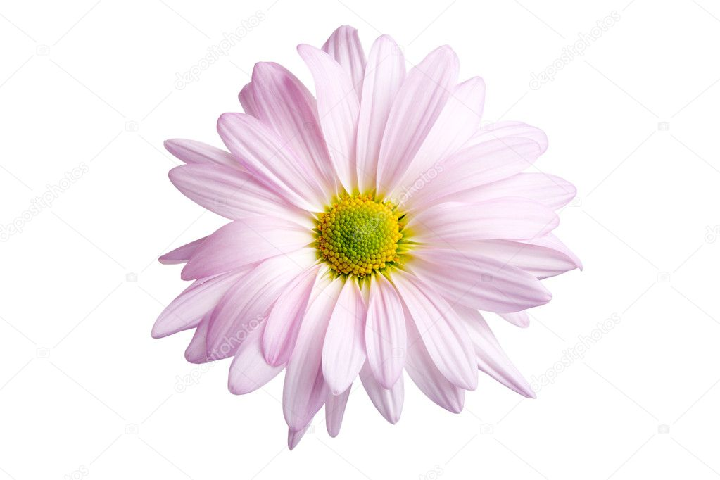 Daisy in light shade of purple shot highkey and isolated on white — Stock Photo #3892869