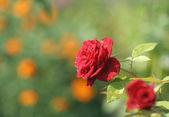Garden rose — Stock Photo