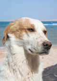 Triest hond — Stockfoto