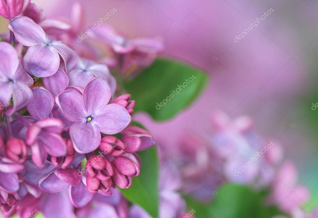 Сирень цветок картинки