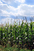 Kansas Corn Field — Stock Photo