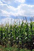 Campo di grano del kansas — Foto Stock