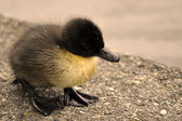Duckling — Stock Photo