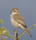 Isabelline Shrike — Stock Photo