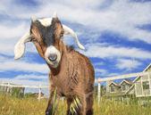 Cute Baby Goat — Stock Photo
