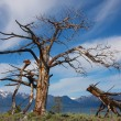 broken tree — Stock Photo