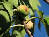 Figs On Tree — Stock Photo