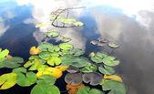 Lily pads on lake — Stock Photo