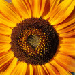 Sunflower — Stock Photo #3877260