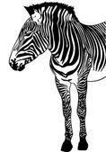 Zebra Sketch — Stock Vector
