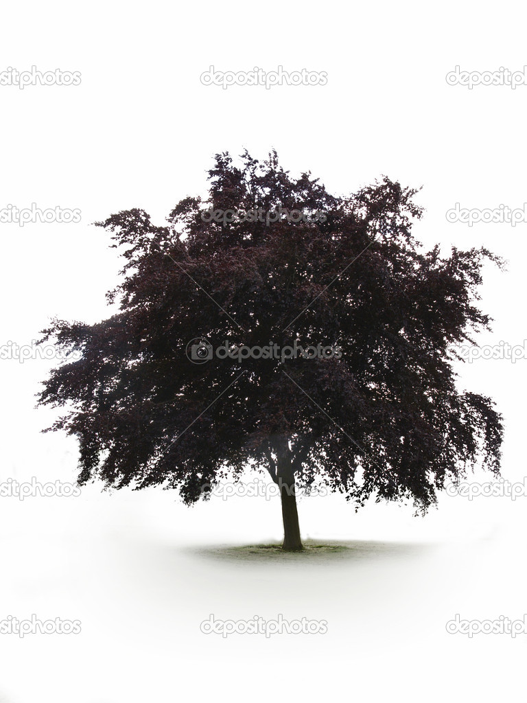 Single tree on white background for easy cut out  Stock Photo #4043919