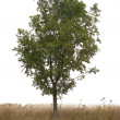 Single tree — Stock Photo #4053362