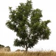 Single tree — Stock Photo #4053382