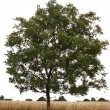 Single tree — Stock Photo #4053473